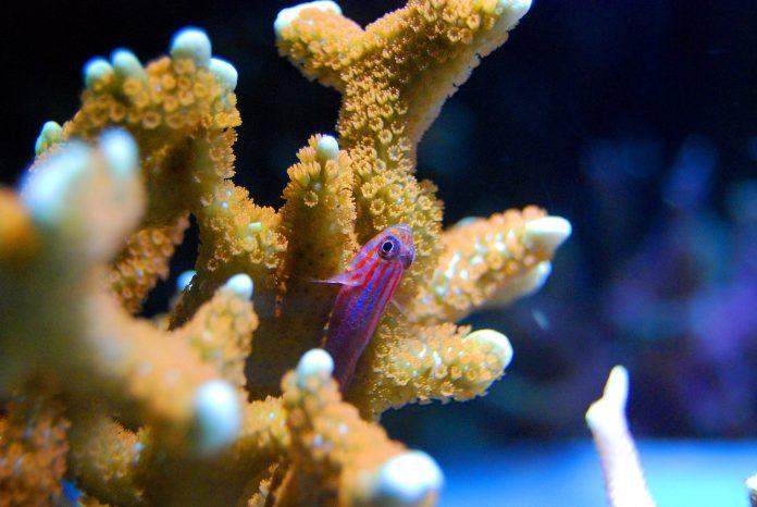 Koral og fisk